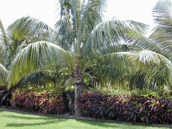 ideias jardins grandes:Fotos de Coqueiros para jardins grandes e pequenos